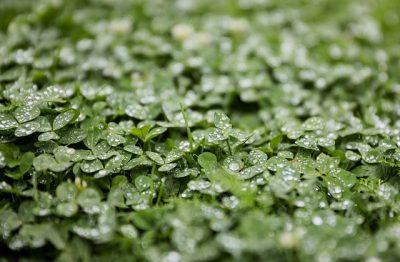 3 magische Grüns , Alfalfa, Gersteng- und Weizengras