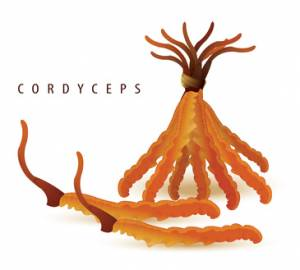 cordyceps sinensis gesundheitliche Wirkung